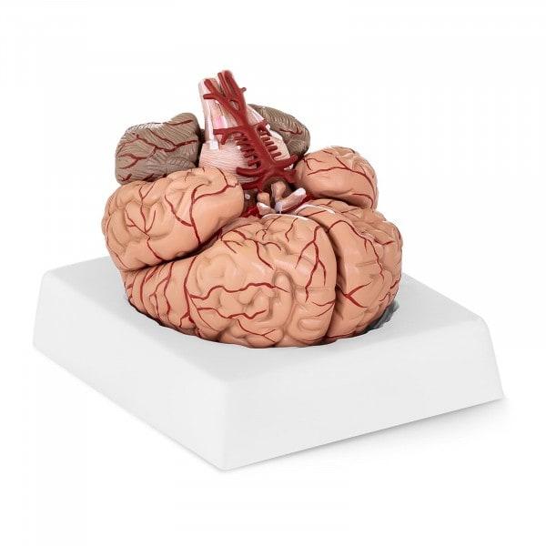 Modello anatomico cervello PHY-BM-1
