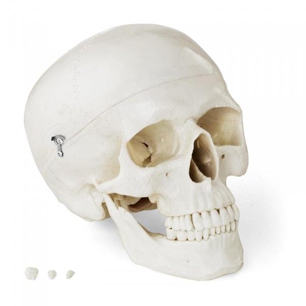 Modello anatomico cranio - bianco