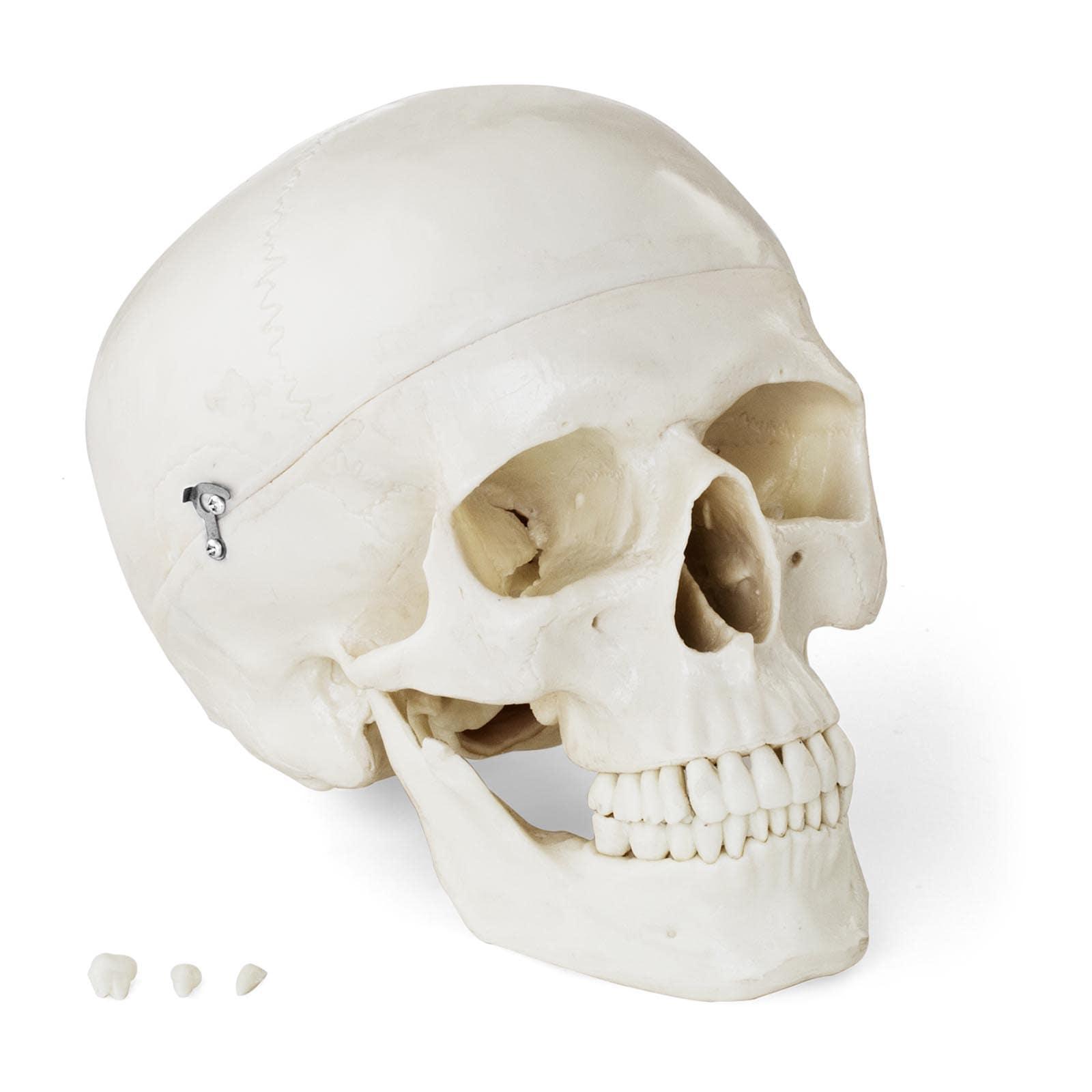 Modelli anatomici