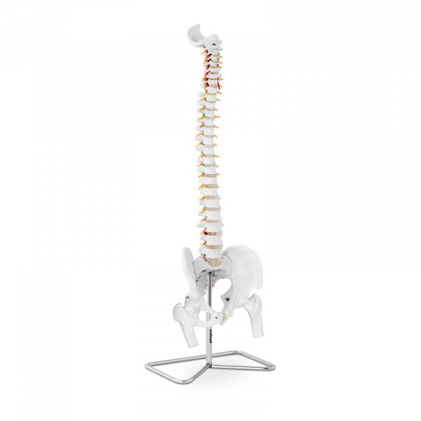 Modello anatomico colonna vertebrale cervicale con bacino PHY-SM-1