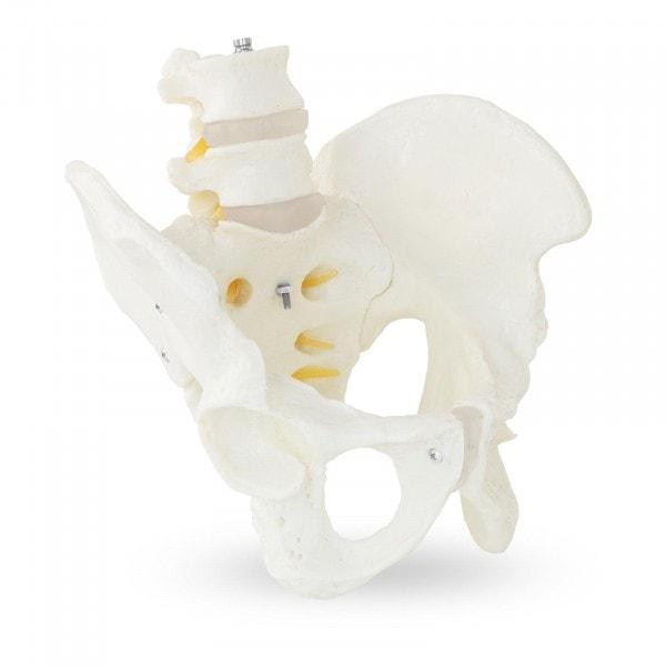 Modello anatomico bacino con vertebre lombari - maschile