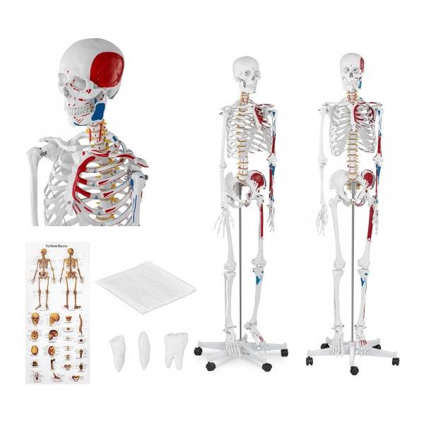 Modello scheletro umano PHY-SK-2 - grandezza naturale
