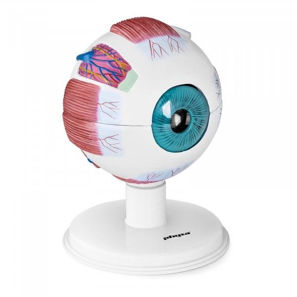 Modello anatomico occhio - 6:1