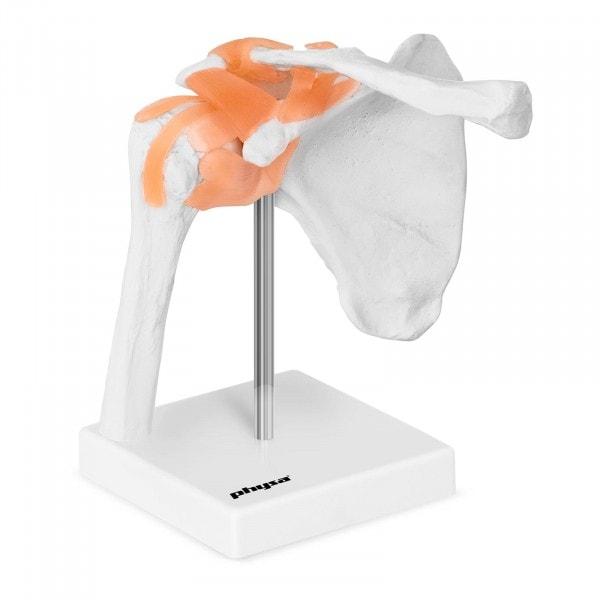 Modello anatomico spalla PHY-SJ-1