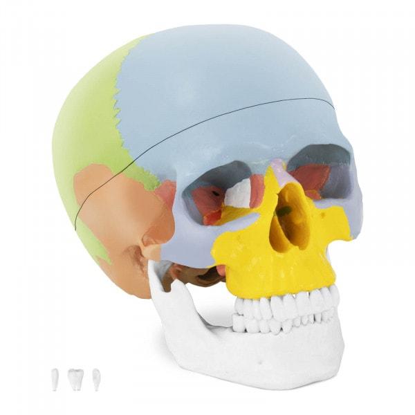 Modello anatomico cranio - colorato