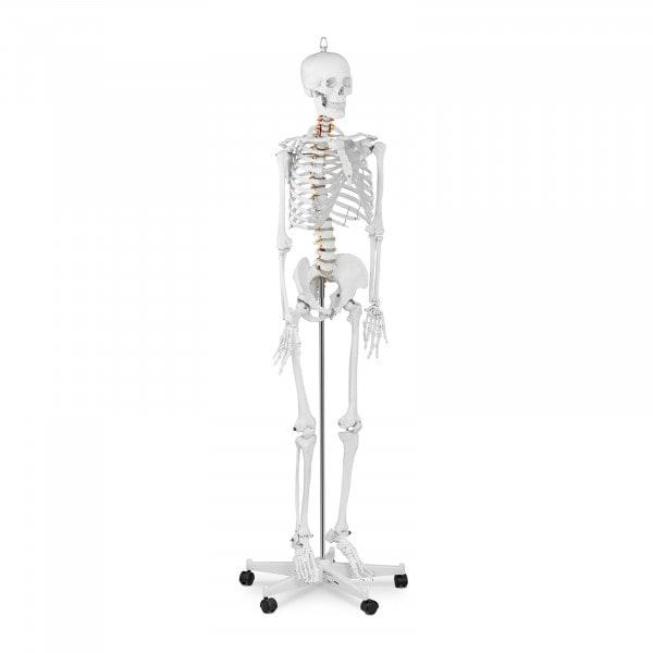 Modello scheletro umano PHY-SK-1 - grandezza naturale